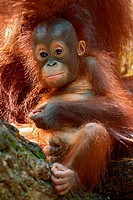 Portrait Image of a cheeky orangutan baby playing.