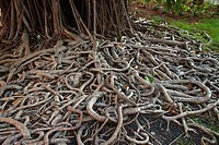 Roots of Rubber Fig (Ficus elastica), Martinique, Caribbean
