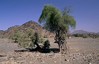 Oman, middle East, oasis, palm trees, at Wadi Dima, desert, green, mountains, mountain, barren, landscape, scenery