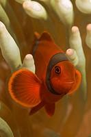 Spinecheek clownfish, Premnas biaculeatus.