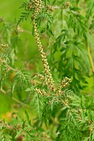 Common Ragweed, Ambrosia artemisiifolia
