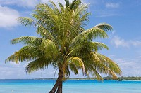 Coconut tree in Rangiroa Atoll, Avatoru, Rangiroa, The Tuamotus, French Polynesia