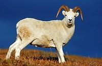 Dall Sheep ram (Ovis dalli), Denali N.P., Alaska