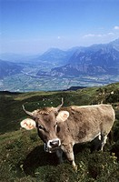CHE, Switzerland, Canton St. Gallen : Cow on a meadow on Pizol mountain
