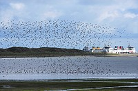 Flock of birds at the coast, Texel, Netherlands