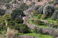 Lemon Trees and Olive Trees, Port de Soller, Mallorca, Balearic Islands, Spain