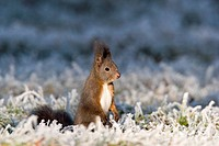 Red Squirrel at whitefrost, winter, Bavaria, Germany, Sciurus vulgaris