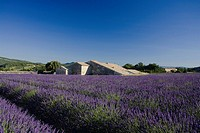 Blooming lavender field in front of country house, Alpes_de_Haute_Provence, Provence, France