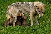 European young wolves (Canis lupus), Wildparadies Trippsdrill, Baden-Württemberg, Germany