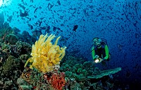 Diver with yellow Crinoid and scholling Redtooth triggerfishes, Odonus niger, Maldives, Indian Ocean, Meemu Atoll