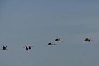 Common cranes (Grus grus) in midair