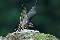 Peregrine Falcon (Falco peregrinus), fledgling, flapping