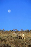 Mule Deer, Doe, Moon, Odocoileus hemionus, Yellowstone NP, USA