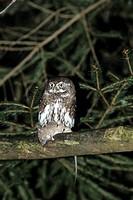 Eurasian Pygmy-owl (glaucidium passerinum )