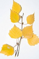 Autumnm, Birch, leaves on a white background