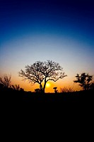 Wide Angle African sunrise with lifeless tree silhouette infront of sun
