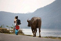 Pokhara, Nepal, Young girl leading water buffalo