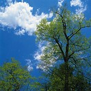 a Tree Under a Blue Sky and Some Clouds, Low Angle View, Gunma Prefecture, Japan