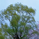 a Willow Under a Light_blue Sky, Low Angle View, Blurred Motion, Niigata Prefecture, Japan