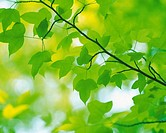 Several Maple Leaves, Low Angle View, Differential Focus, Soft Focus