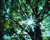 a Tree With Several Green Leaves, The Sun Shining Through, Low Angle View, Lens Flare
