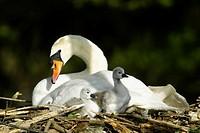 Mute Swan, cygnus olor,