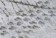 The world´s longest dinosaur tracks, Cretaceous Titanosaurus, near Sucre, Bolivia, South America