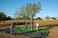 Almond harvest, Felanitx, Majorca, Balearic Islands, Spain