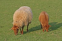 Domestic Sheep Ovis gmelini aries