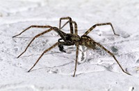 House spider (Tegenaria atrica) male