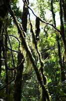 Monteverde Cloud Forest Reserve, Monteverde, Costa Rica, Central America