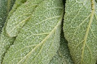 Common mullein Verbascum thapsis Leaf closeups with raindrops