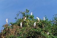 Cattle egrets Bubulcus ibis on a tree, Parque Nacional de Fernando de Norohna, Fernando de Noronha, Pernambuco, Brazil, South America