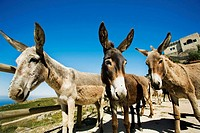 Native breed donkeys with Nossa Senhora da Penha chapel (aka Peninha sanctuary built in the 17th century) in background, Sintra-Cascais Natural Park, ...
