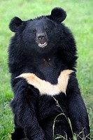 Portrait of Asiatic black bear (Ursus thibetanus) at the Chengdu rescue center of the Animal Asia Foundation, Sichuan, China