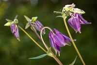 Columbine flower Aquilegia vulgaris