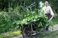 Farmwoman, barrow with mulberry branches, for sericulture, Zernikow, near Grosswoltersdorf, Brandenburg, Germany, Morus alba, White Mulberry, medieval...
