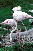 Close_up of pink flamingoes at Tiersgarten, the Zoo, Hietzing, Vienna, Austria, Europe