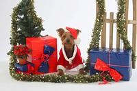 Yorkshire_Terrier as Santa Claus