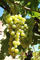 Grapes. Bages, Barcelona province, Catalonia, Spain