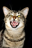 Tiger green eyed cat, growling over a black background, New Zealand