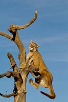 A Cougar Jumps into a Tree