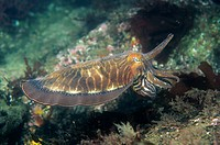 Eastern Atlantic Galicia Spain Cuttlefish Sepia officinalis