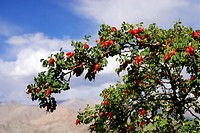 Any of various usually thorny trees or shrubs of the genus Crataegus  having clusters of white or pinkish flowers and reddish fruits containing a few ...