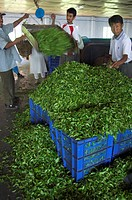 Man controlling weight of daily quantity of plucked leaves, Singtom tea garden, Darjeeling, West Bengal state, India, Asia