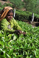 Tea picking, Western Ghats near Munnar, Kerala state, India, Asia