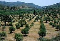 Olive trees, near Spili, island of Crete, Greece, Mediterranean, Europe