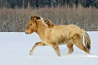 Ambling Icelandic horse yearling in winter
