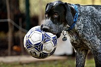 German short-haired pointer having an old football in his mouth
