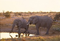 Two Elephants ( Loxodonta africana ) drinking at a waterhole in the evening, Etosha national Park, Namibia